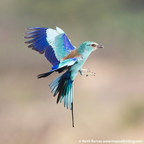 An Abyssinian roller in flight