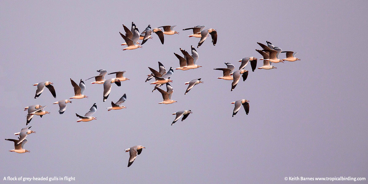 A flock of grey-headed gulls in flight